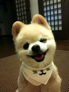 Looks like a toy but it is real -a Pomeranian.