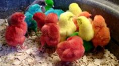 Cutest-Ever Baby Easter Chicks - up close and personal!, via YouTube.