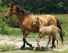 Google Image Result for http://www.horsechannel.com/images/horse-breeds/marsh-tacky.jpg