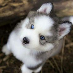 Husky puppy with beautiful eyes.