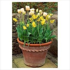 Mix daffodils and tulips in pots for spring!