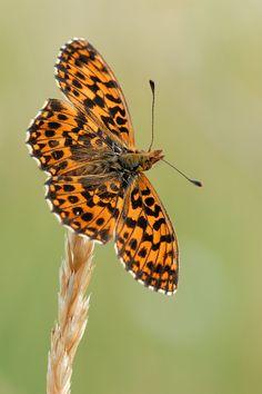 Weaver's Fritillary butterfly