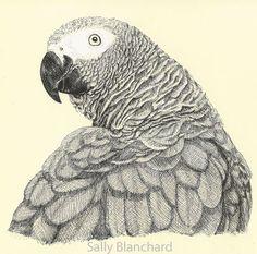Sally Blanchard - Pen Drawing Congo African Grey Parrot Grey Fluff ...