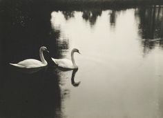 heartbeat-of-leafy-limbs:RICHARD TE... http://dame-de-pique.tumblr.com/post/158734397377/heartbeat-of-leafy-limbs-richard-tepe-two-swans by https://j.mp/Tumbletail