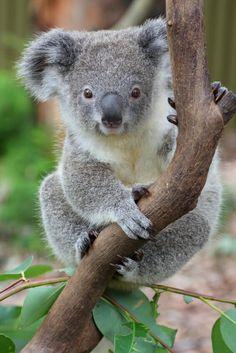 Koala Bear Pics Hd Wallpapers
