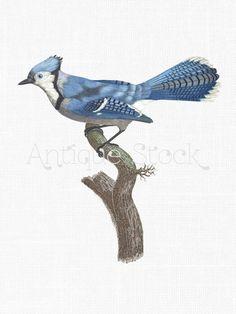 Blue Jay Bird Image - Vintage Bird Illustration - Blue Bird Drawing - Printable Bird Clip Art 1806 by Antique Stock Vintage Birds, Vintage Images, Create Wedding Invitations, Vintage Bird Illustration, Blue Jay Bird, Bird Clipart, Vintage Birthday Cards, Architecture Tattoo, Funny Tattoos