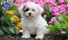 Keystone Puppies has a puppy finder feature setting you up to find and buy a dog perfect for your home. Havanese Puppies For Sale, Cute Puppies, Cute Dogs, Chico Baby, Puppy Finder, Buy A Dog, Pet Accessories, Maltese, Shih Tzu