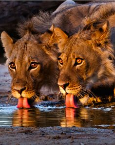 African Lions Drinking.