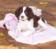 Luna the English Springer Spaniel Pictures 11148