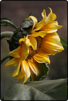 sunflower at summer's end…