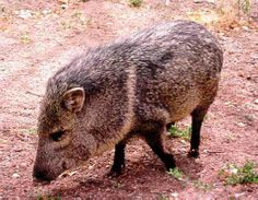 Javelinas are usual seen during bbq's at  in the cotton wood grove at Tanque Verde Ranch http://tanqueverderanch.com/