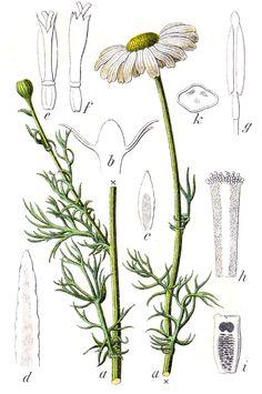 Maruna nadmorska (Tripleurospermum maritimum (L.) W. D. J. Koch) bezwonna