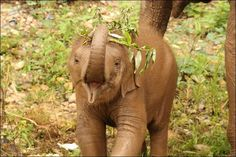 Dok Mai practices using her trunk (Elephant Nature Park)
