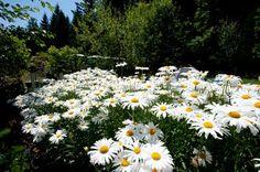 Good shasta daisies.  Every garden needs them.