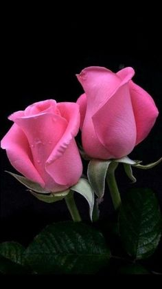 Beautiful Flowers Wallpapers, Beautiful Rose Flowers, Exotic Flowers, Amazing Flowers, Pretty Flowers, Love Rose Flower, Gif Kunst, Pink Roses, Pink Flowers