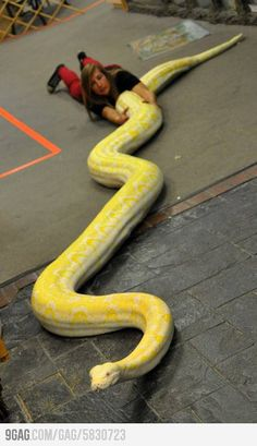 the world's biggest snake found alive! malaki ahas part 3 of 3 Pretty Snakes, Beautiful Snakes, World Biggest Snake, Reticulated Python, Types Of Snake, Colorful Snakes, Largest Snake, Cute Snake, Crocodiles