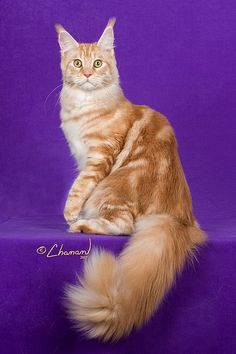 Maine Coon Cats and Kittens Southern California | Mainely-Ours