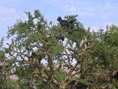 Goats in Argan Trees EPV0067 -