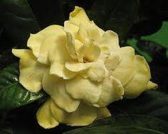 89 best camellias gardenias jasmines images on pinterest pale yellow gardenia mightylinksfo