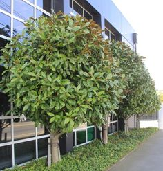 Evergreen Tree - MAGNOLIA grandiflora var. - Christchurch