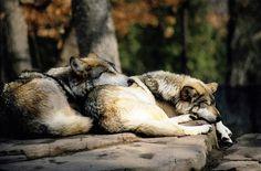animals, cute, dogs, sleeping, wolf