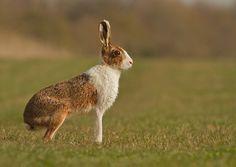 Leucistic Hare March Hare, Centaur, Wildlife Photography, Rabbits, Kangaroo, Bunnies, Photo Art, Creatures, God