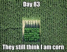 Just an ordinay cornfield...nothing to see here!!