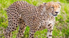 Safari i Tanzania Tanzania Safari, Animals Beautiful, Cheetah, Backpacking, Giraffe, Asia, Explore, Pictures, Travel