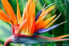 Strelitzia reginae, oiseau de Paradis. #Tahiti #Flower #Fleur #color