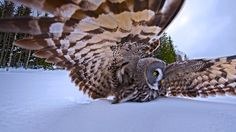 A great gray owl on the hunt  | Country: United States United Kingdom Deutsch Canada Australia France ...
