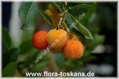 FLORA TOSKANA: Arbutus unedo - Strawberry Tree Store Systems Shopsysteme