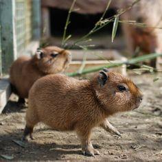 The Daily Capybara