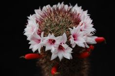 Mammillaria fraileana SB 1247