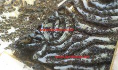 Arıların Karakovanda çalışması ve sonuçta mükemmel karakovan balı
