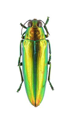 Chrysochroa crhysoides. Collection of the Royal Belgian Institute of Natural Sciences