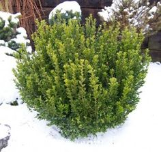 A versatile dwarf form whose neatly & densely arranged leaf pairs give it a unique, attractive appearance. Foliage retains its emerald green color year round, even through the coldest winters. A maintenance free low hedge for lining walkways. Front Walkway Landscaping, Boxwood Landscaping, Landscaping Ideas, Dwarf Shrubs, Landscape Curbing, Evergreen Garden, Drought Tolerant Landscape, Garden Shrubs, Garden Plants