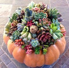 If you're searching for a means to keep those pumpkins at Thanksgiving Day, consider turning them in a succulent pumpkin vase. Growing Succulents, Cacti And Succulents, Planting Succulents, Planting Flowers, Succulent Gardening, Succulent Terrarium, Container Gardening, Terrariums, Cactus Planta