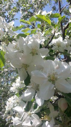 May 7, 2014. My apple tree in full bloom.