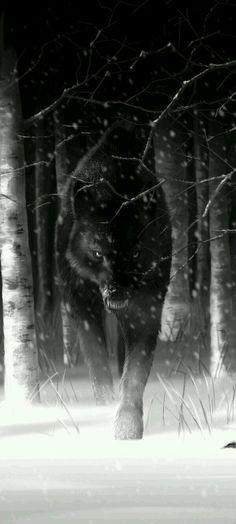 Lindos lobos