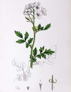 alyssum botanical illustration - Google Search