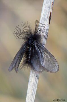 mothmonarch:  Strange fluffy Moth! by DavidVeevers