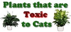 Plants that are Toxic to Cats, large list. Lucky bamboo, not actual bamboo is toxic to cats? I'll keep mine up from now on.