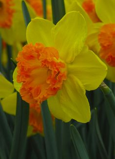 Large Cupped Narcissus 'Coral Crown'