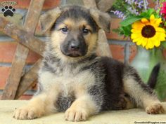 His name is Gage! German Shepherd Puppies For Sale In PA - dog kennel boarding Puppies And Kitties, Gsd Puppies, Cute Puppies, Cute Dogs, Doggies, German Shepherd Puppies, German Shepherds, Wooden Dog Kennels, Big Animals