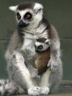 Google Image Result for http://www.lemurworld.com/images/3_lemur_300.jpg