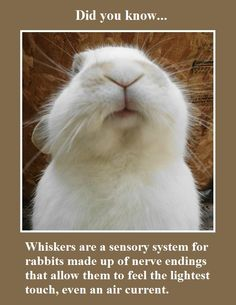 You should never trim a bunny's whiskers. https://answers.yahoo.com/question/index?qid=20110811190624AA4lcBT #whiskerswednesday (02/25/15)