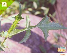 A Serralha é uma hortaliça que pode ser facilmente encontrada, já que é uma planta invasora. A erva pertence à mesma família da alcachofra e pode ser consumida em forma de chá, saladas, sopas e outras receitas culinárias.