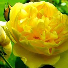 ÆLSKER gule roser. De skal stå i syltetøjsglas med hortensia