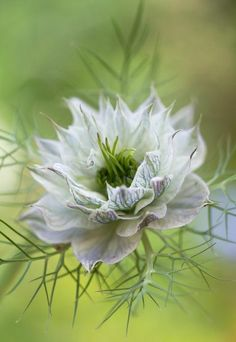Nigella Flower- I Love the Shape of the Petals, Pretty! Unusual Flowers, Amazing Flowers, My Flower, White Flowers, Beautiful Flowers, Unusual Plants, Beautiful Gorgeous, White Gardens, Trees To Plant