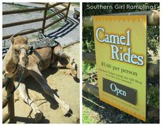 Chattanooga Zoo Camel Rides - another great wedding photo opportunity. Tn State, Top Travel Destinations, Best Vacations, Grandkids, Trip Planning, Jasper, Tennessee, Opportunity